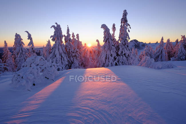 Germany, Bavaria, Bavarian Forest in winter with snow-capped spruces at sunset — Stock Photo