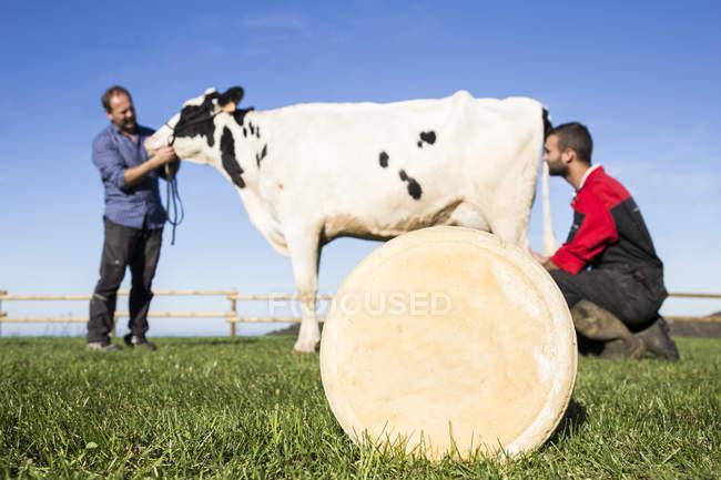 Сир з коровою і фермерів у фоновому режимі на пасовищі — стокове фото