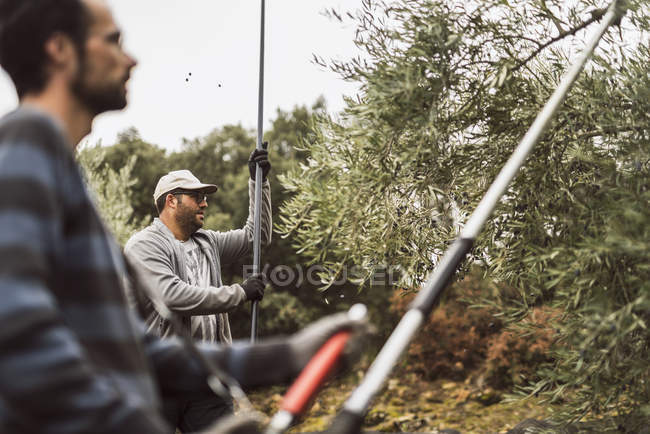 Two men harvesting olives — Stock Photo