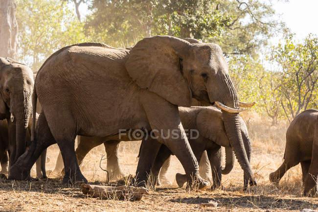 Ботсвана, Тули Блок, стадо африканских слонов — стоковое фото