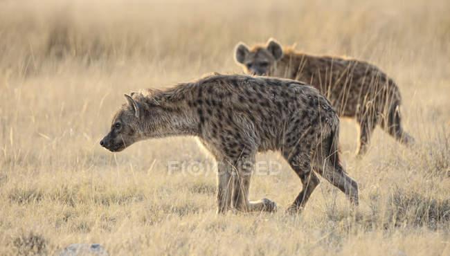 Namibia, Parco nazionale di Etosha, due iene maculate — Foto stock