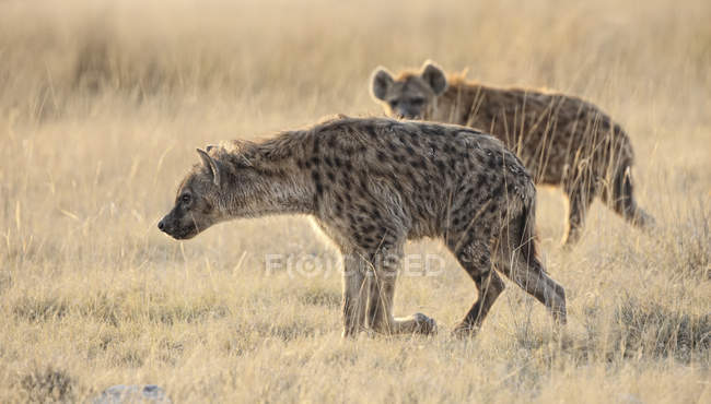 Namibia, Etosha National Park, two spotted hyenas — Stock Photo