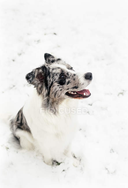 Dog sitting in snow with tongue out — Stock Photo