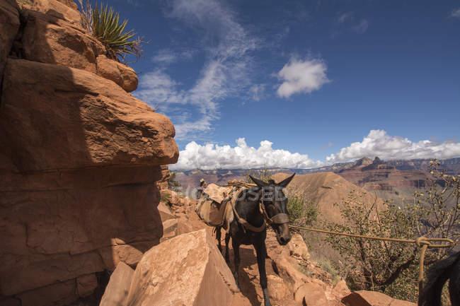 США, Невада, Национальный парк Гранд-Каньон, мул транспортировки — стоковое фото