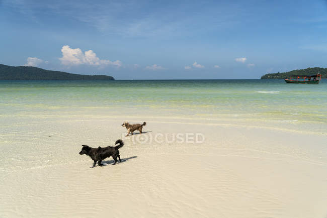 Собаки на сарацинів Bay beach, Ко-Ронг-Sanloem острова, Сіануквіль, Камбоджа, Азії — стокове фото