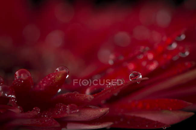 Waterdrops on petals of red Gerbera, close-up — Stock Photo
