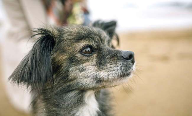 Крупным планом маленькая собака сидит на пляже и смотрит в сторону — стоковое фото