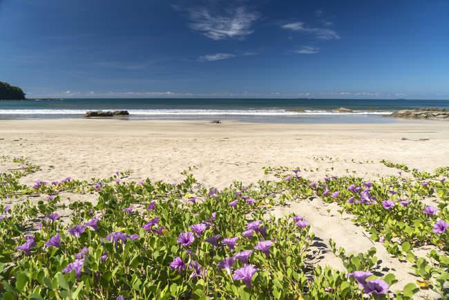 Пляж Ранкова слава (Ipomoea ПЕ caprae) цвіте на пляжі, Ngwesaung, М'янмі, Азії — стокове фото
