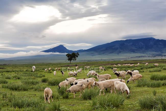 Schafherde weidet auf der grünen Wiese, Blick auf die Berge im Hintergrund — Stockfoto