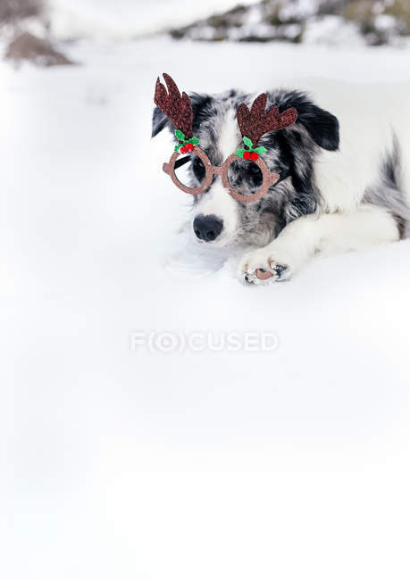 Border collie with Christmas ornament glasses in snow — Stock Photo