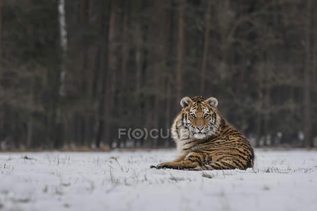 Sibirischer Tiger im verschneiten Winterwald tagsüber — Stockfoto