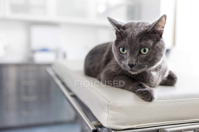 Portrait d'un chat en clinique vétérinaire — Photo de stock