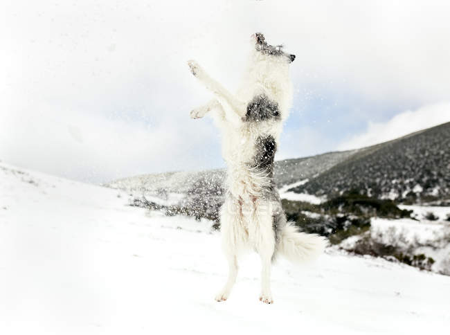 Cute dog jumping in snow in mountains — Stock Photo