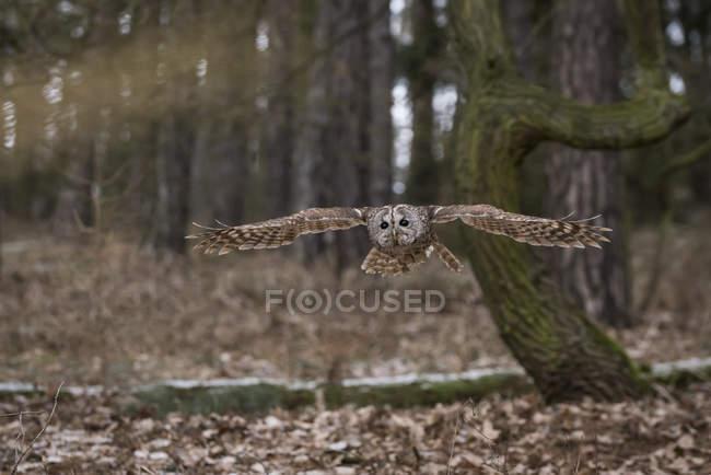Сова сіра літати в лісі — стокове фото