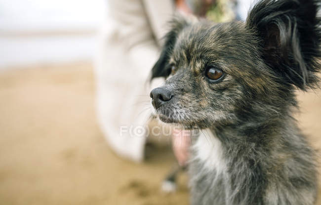 Close-up of small dog sitting on beach and looking sideways — Stock Photo