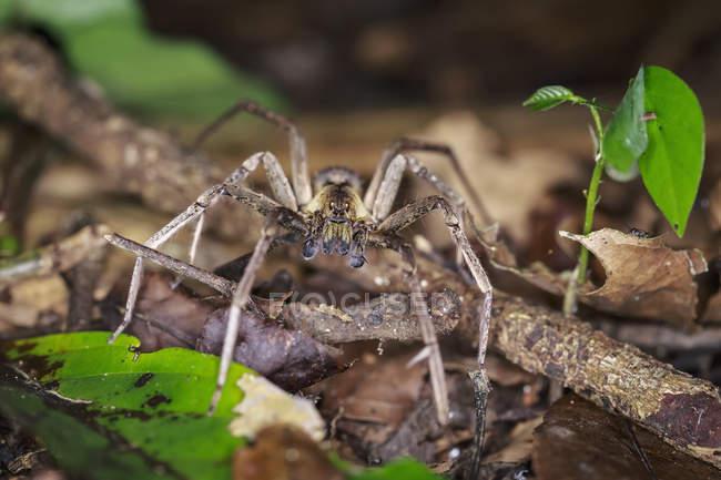 Vue d'une araignée errante dans leur habitat naturel — Photo de stock
