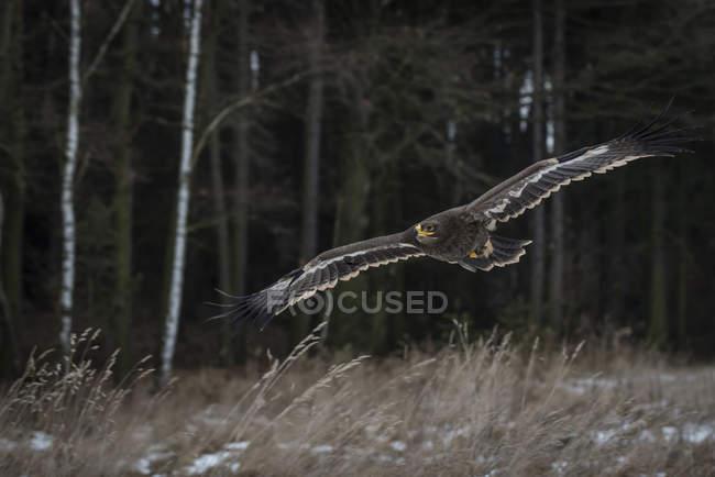 Águila pomerana volando en campo - foto de stock