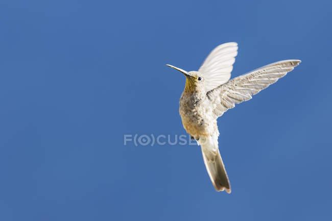 Colibri géant blanc volant dans le ciel bleu — Photo de stock