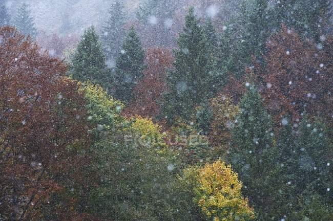 Nevada en el bosque de coníferas brumosas en invierno - foto de stock