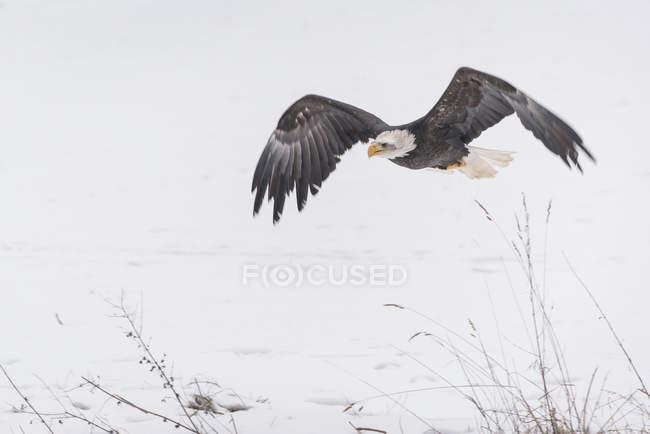 Águila calva volando en campo del invierno - foto de stock