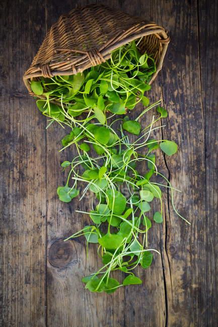 Органический зимний пурслан — стоковое фото