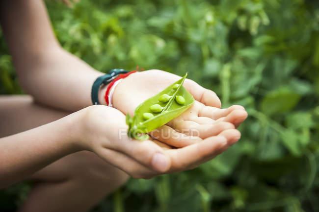 Human hands holding open fresh pea pod — Stock Photo