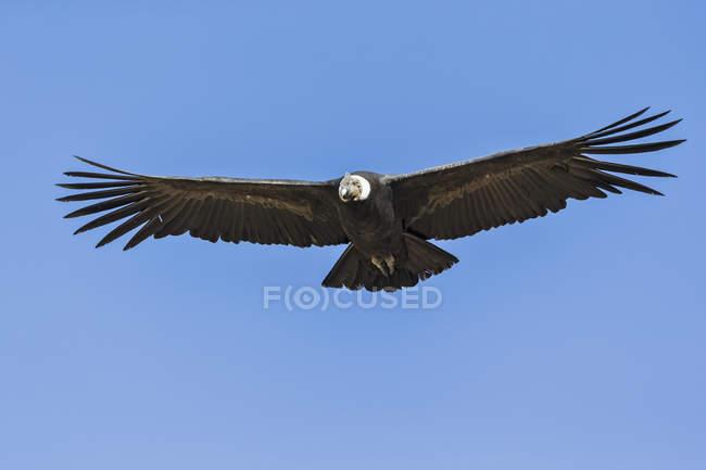 Bas Découvre un oiseau condor andin avec ailes spred volant à ailes bleues — Photo de stock