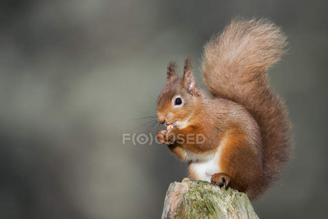 Red squirrel (Sciurus vulgaris) holding nut — Stock Photo