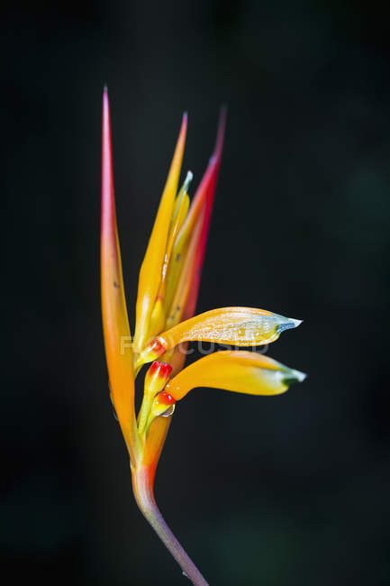 View of heliconia flower on black background — Stock Photo