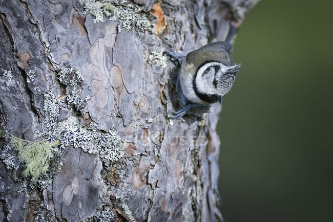 Чубаті Тит птиці, сидячи на кора дерева — стокове фото