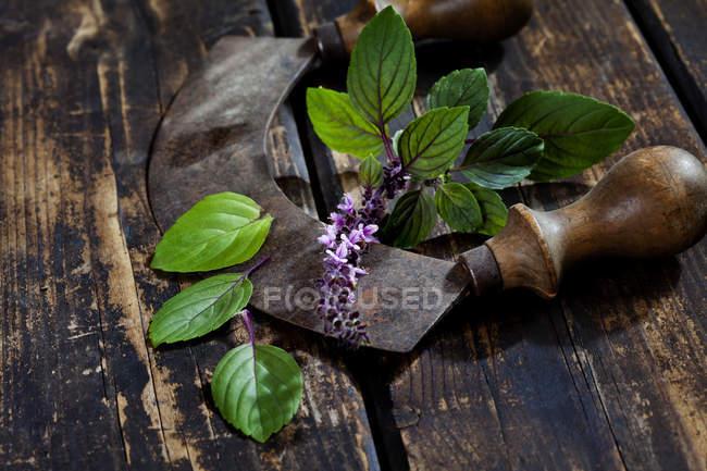 Vista de cerca de las hojas de albahaca con flor y cortador sobre fondo de madera oscura - foto de stock
