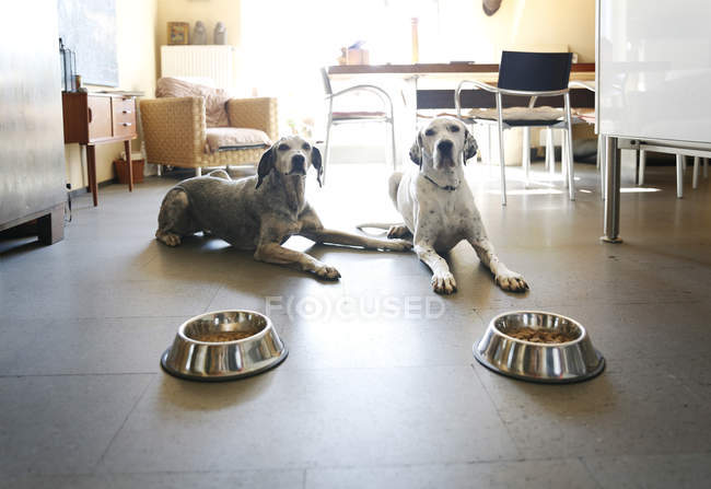 Две собаки, лежащие дома возле чаш — стоковое фото
