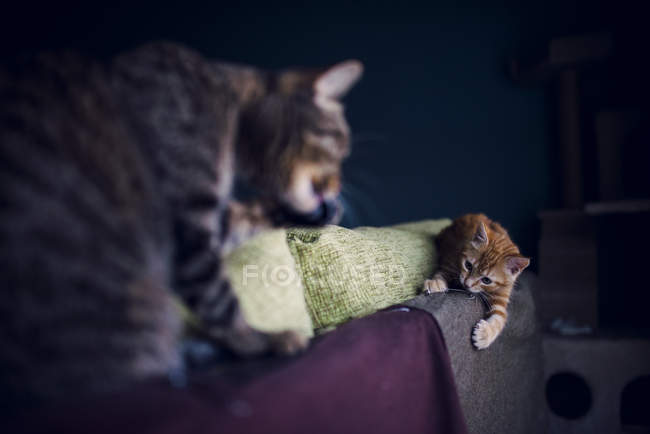 Kitten and cat playing on top of couch at home — Stock Photo