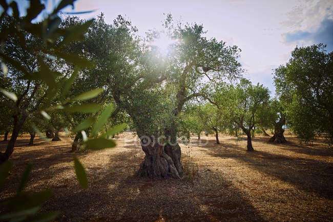 Italy, Apulia, Olive trees in back light — Stock Photo