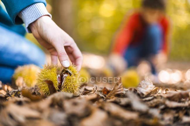 Primer plano de Madre e hijo recogiendo castañas dulces en bosque otoñal - foto de stock