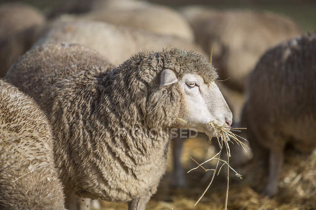 Pecore che mangiano fieno all'aperto presso azienda agricola — Foto stock
