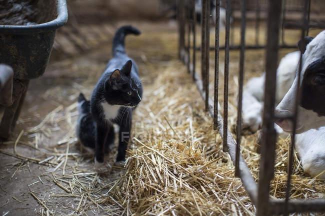 Gatti e vitello in fattoria — Foto stock