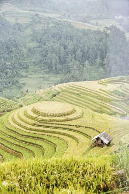 Terrazas De Arroz De Vietnam Mu Cang Chai En La Colina