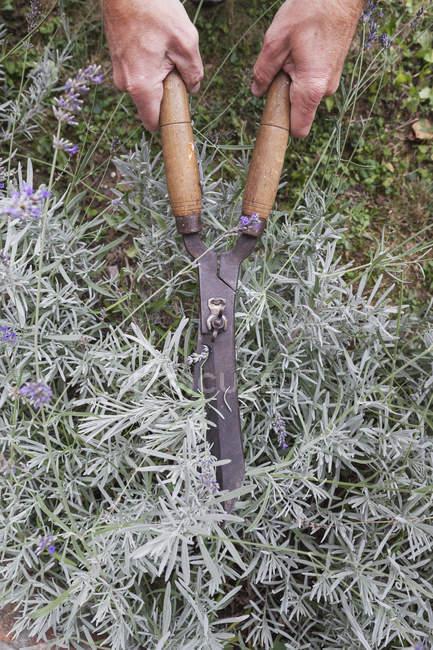 Lavanda de poda do homem no jardim — Fotografia de Stock