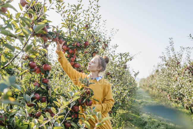 Молодая женщина собирает яблоки в саду — стоковое фото