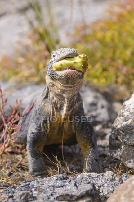 Ecuador, Isole Galapagos, Galapagos land iguana, Conolophus subcristatus — Foto stock