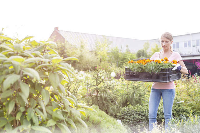 Gardener carrying box with blossoming plants in nursery — Stock Photo