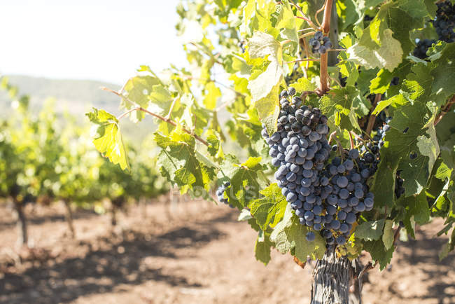 Red grapes hanging from vine — Stock Photo