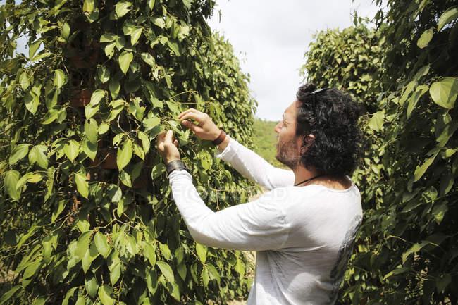 Cambodia, Kampot,  pepper farm, famous Kampot pepper — Stock Photo
