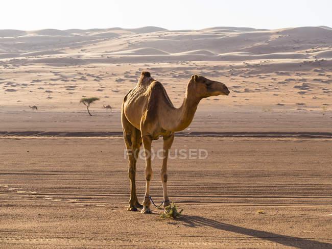 Oman, Al Raka, pé de dromedário no deserto de Al Rimal Wahiba — Fotografia de Stock