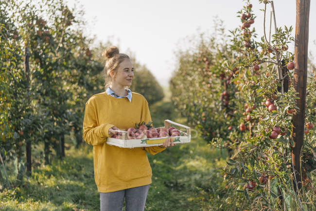 Young woman holding crate with apples in orchard — Stock Photo
