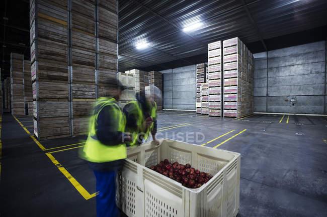 Два работающих мужчин, осмотр ящик яблок в склад распределения — стоковое фото