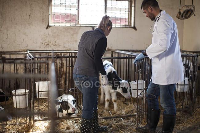 Ветеринар та жіноча фермер, дивлячись на телят на фермі — стокове фото