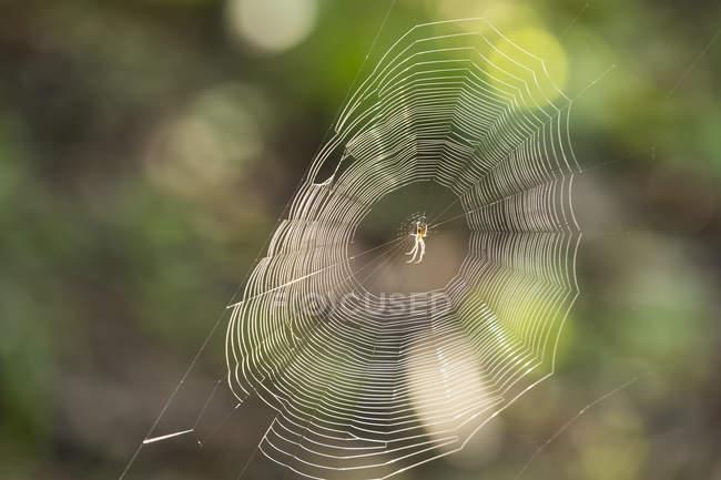 Traverser l'araignée dans la toile d'araignée sur fond flou vert — Photo de stock