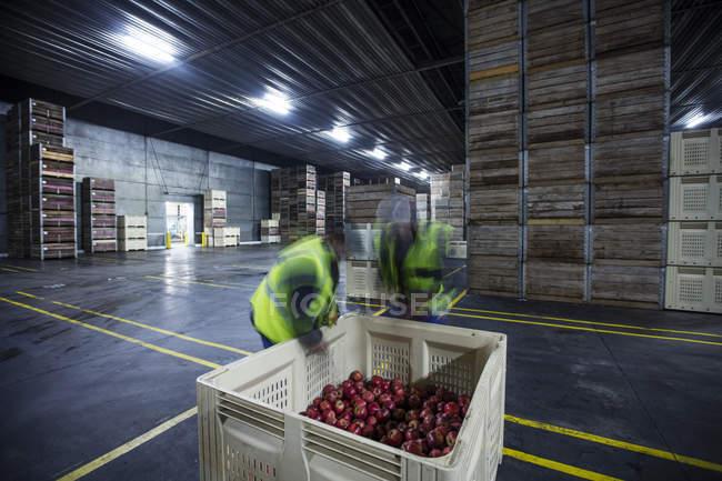 Два работающих мужчин, осмотр свежих яблок из ящиков распределение складе — стоковое фото